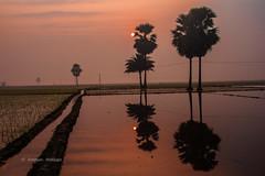 Rural Morning ,Bangladesh , Asia .. (Amman Hossain) Tags: morning water rural sunrise asia surface bangladesh cropfield jhenaidah ruralmorning inspiringmorning