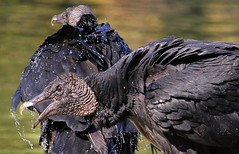 IMG_5246 (Stefan Puffer) Tags: black texas bayou vultures pasadena armand
