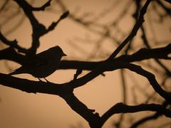 Morning Bird (www.Michie.ru) Tags: morning shadow orange bird netherlands sunrise poem haiku hague shade poet wife    sunlgiht haikulike p610