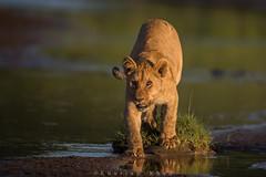 Inquisitive (Khurram Khan...) Tags: ilovenature tanzania wildlife ngc lions naturephotography naturephotos pantheraleo wildlifephotography ndutu iloveafrica ilovewildlife iamnikon khurramk khurramkhan