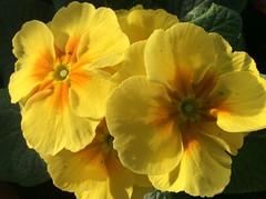Primulas from my balcony garden to you! (peggyhr) Tags: orange canada yellow vancouver bc primulas thegalaxy 25faves peggyhr thegalaxyhalloffame