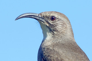 California Thrasher Portrait