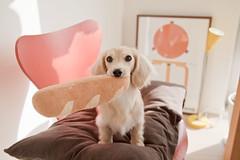 IMG_5254 (yukichinoko) Tags: dog dachshund 犬 kinako ダックスフント ダックスフンド きなこ