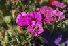 Patient Grasshopper (cobalt123) Tags: pink arizona canon tucson patient grasshopper firstphotos impatiens pinkflowers age11 2016 anavey westwardlook tucsonrockandgemshow xti canonrebelxti anaveybolender