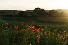 DSC04585 (wheelsy1) Tags: walking derbyshire poppy chesterfield sheepbridge poppyfield unstone richardwiles