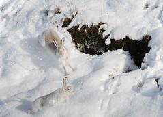 Mountain Hares (tickspics ) Tags: uk scotland highlands invernessshire mountainhare lepustimidus findhornvalley