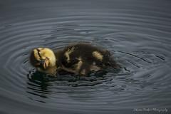 Mallard Duckling Rolling (cherylfocke) Tags: baby bird nature water duck pond duckling rolling babyduck