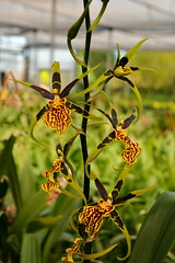 Banfieldara Guilded Tower 'Mystic Maze' (Nurelias) Tags: flowers flores orchid flower color macro fleur beautiful forest photography flora nikon rainforest colorful orchids orchidaceae tropical orquidea orchidee oncidium makro flore odontoglossum orchideen hybrids wilsonara odontioda oncidiinae d7100 orchidales