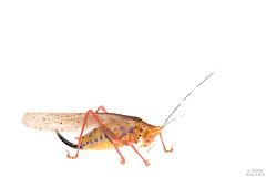 Rainbow katydid (Vestria sp.) (ggallice) Tags: southamerica ecuador amazon rainforest selva katydid tettigoniidae saltamontes bushcricket amazona yasuninationalpark tiputinibiodiversitystation parquenacionalyasun saltamonteslongicornios rainbowkatydid vestria