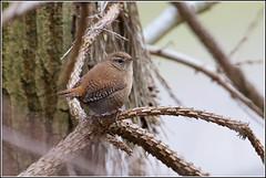 Winterkoninkje (pietplaat) Tags: vogels westduinpark winterkoninkje pietplaat