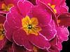 Pretty Pink Primulas :) (Sandi (VERY busy - back soon )) Tags: shootaboot picmonkey