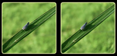 Grass Blade Bridge - Crosseye 3D (DarkOnus) Tags: bridge macro grass closeup insect lumix stereogram 3d crosseye pennsylvania panasonic stereo citrus blade stereography buckscounty planthopper crossview flatid metcalfa pruinosa dmcfz35 darkonus