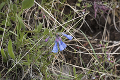 """Mountain Bluebells • <a style=""""font-size:0.8em;"""" href=""""http://www.flickr.com/photos/63501323@N07/25740291371/"""" target=""""_blank"""">View on Flickr</a>"""
