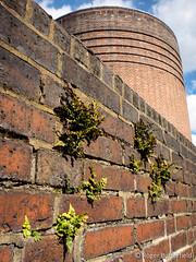 Black Spleenwort (Roger B.) Tags: fern brick unitedkingdom sheffield brickwall brickwork southyorkshire aspleniumadiantumnigrum blackspleenwort