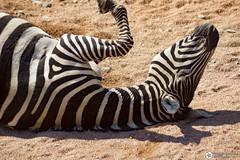 _DSC5752 (alessandro.spagnolli) Tags: zoo natura tamronlens naturalistica lecornelle parcofaunistico sonyalpha77