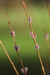 Salix purpurea Howki - Arboretum Kalmthout (stephenmid) Tags: belgium kalmthout