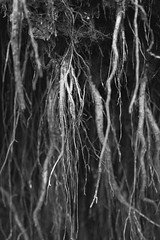 Roots (ChrisDale) Tags: blackandwhite bw abstract mono roots hanging shallow dangling wispy chrisdale chrismdale