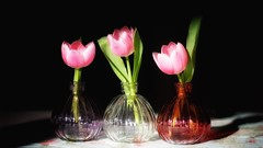 Tulip Vases (cathbooton) Tags: pink flower green nature blackbackground vintage three leaf fineart indoor tulip vase cloth canoneos 50mmeff18 canonusers