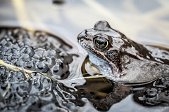 Frog V - Meet the Shoggoth (callocx) Tags: macro water animal fauna eyes sweden wildlife egg amphibian frog parent tele vsters slimy shoggoth djkneberget
