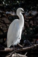 Garzeta blanca (Egretta garzetta) (Eduardo Mena U.) Tags: espaa valencia es oceanografic valncia comunidadvalenciana