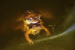 Grenouilles rousses (Mariie76) Tags: eau animaux rana printemps bassin temporaria femelle grenouilles aquatique amphibiens mle accouplement rousses