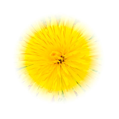 """The Beauty of Weeds.."" - Dandelion (Ian Johnston LRPS) Tags: flower yellow garden square petals weed flora nikon dandelion p900 onwhite 2016"