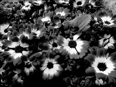 Floral Tribute (Broot - Thanks for a half million views!!) Tags: blackandwhite bw plant paris flower monochrome cemetery grave spring memorial mourning tomb offering april tribute montparnasse grief