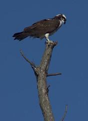 Osprey (cmurphy13) Tags: sea bird hawk osprey seahawk