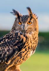 Eagle Owl (AngelCrutch) Tags: uk bird animal evening britain beak feathers owl pontefract eagleowl farmercopleys captivebird
