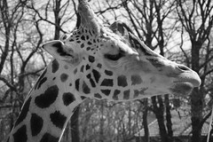 When you photograph people in color, you photograph their clothes. But when you photograph people in Black and white, you photograph their souls! (Pics4life.nl) Tags: soul giraffe ziel zwart wit dier