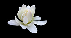 star magnolia (Magnolia stellata) (Jac Hardyy) Tags: flowers white flower star petals spring blossom blossoms petal bloom magnolia blooms stern blte bltenbltter springtime frhling blten stellata magnolie weis bltenblatt sternmagnolie