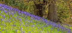 The Bluebell Wood (acwills2014) Tags: wood blue beauty bluebells spring bokeh hillside bluebellwoods