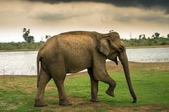 DSC06044 (Ronni Steen Hansen) Tags: elephant rain sony safari srilanka fe ilce 24240mm sel24240