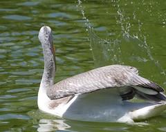 parc des oiseaux Villars les Dombes - 2015 (zabou256 aussi sur Ipernity) Tags: oiseaux birds plican plicanfris pelican vogel pentax k30
