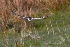 Looking for lunch. (nondesigner59) Tags: nature wildlife hunting flight predator longearedowl asiootus nondesigner nd59 copyrightmmee eos7dmkii