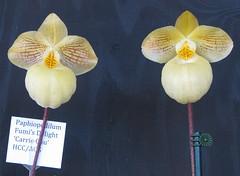 Two Fumi's Delights (cieneguitan) Tags: flower flora lan ran orkid slipperorchids okid angrek anggerek