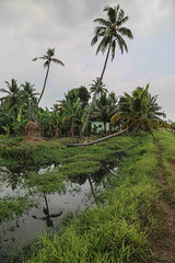 Alappuzha - Alleppey (Jackson Pollard) Tags: trees sunset portrait india art nature bicycle river painting landscape boats cycling locals cows south houseboat kerala coconuts sari backwaters alleppey alappuzha