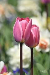 Togetherness (daniwe28) Tags: pink summer flower nature garden spring blossom sommer natur meadow wiese tulip blume blte garten frhling tulpen duft