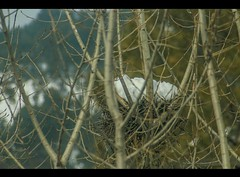 Crow Nest (Hasankazmi) Tags: pakistan snow nest crow abbottabad citybird