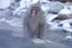 Japan (richard.mcmanus.) Tags: japan monkey primate gettyimages jigokudani honshu japanesemacaque yudanaka snowmonkeys jigokudaniyaenkoen