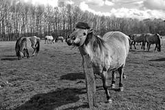 Wild Horses in black-and-white - Herd - 2016-021_Web (berni.radke) Tags: horse pony herd nordrheinwestfalen colt wildhorses foal fohlen croy herde dlmen feralhorses wildpferdebahn merfelderbruch merfeld przewalskipferd wildpferde dlmenerwildpferd equusferus dlmenerpferd dlmenpony herzogvoncroy wildhorsetrack