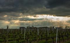 Paysage des coteaux (Sylvain Alexandre) Tags: sunset analog vintage soleil retro loire vignes argentique
