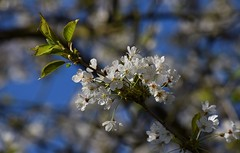 Spring (careth@2012) Tags: flowers flower nature petals spring