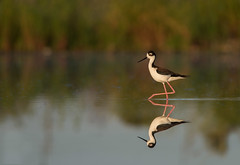 Black-Necked Stilt (PeterBrannon) Tags: morning reflection bird nature blackneckedstilt himantopusmexicanus florida wildlife landing sarasota marsh longlegs wadingbird