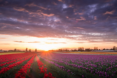 Tulip Sunset (jessealvaradophotography) Tags: flowers sunset sky nature beauty field lines clouds landscape washington intense heaven tulips farm leading skagitvalley tulipfestival