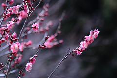 Skewer (shig.) Tags: pink flowers trees flower tree spring blossom blossoms ume