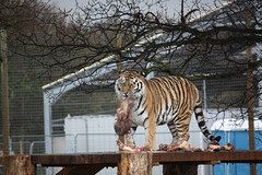Dinner time (alexanderwhit19) Tags: park animals flesh dinner lunch blood wildlife teeth yorkshire tiger eat carcass