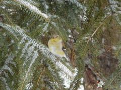 Chardonneret jaune (La FoeZ') Tags: bird spring april avril printemps americangoldfinch 2016 chardonneret chardonneretjaune chutedeneige spinustristis lafoz