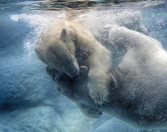 Anana hugs Nikita while whispering sweet nothings in his ear (ucumari photography) Tags: ucumariphotography anana nikita polarbear ursusmaritimus oso bear animal mammal nc north carolina zoo osopolar ourspolaire oursblanc eisbär ísbjörn orsopolare полярныймедведь april 2016 dsc7000 water blue underwater specanimal 北極熊