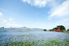 Hitachi Seaside Park 2016 #5 (kobaken++) Tags: park flower nature field japan canon lens eos seaside bright bokeh  5d  depth hitachi ibaraki markii   mark2    hitachinaka          kobaken